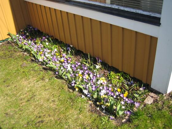 Krokus &nbsp 2011-04-15 118 Granudden Färjestaden Öland