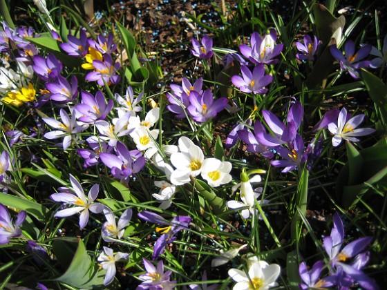 Krokus  2011-04-15 147 Granudden Färjestaden Öland