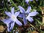 Vårstjärna  2011-04-15 013