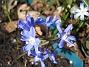 Vårstjärna  2011-04-15 014