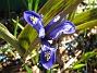 Iris  2011-04-15 131