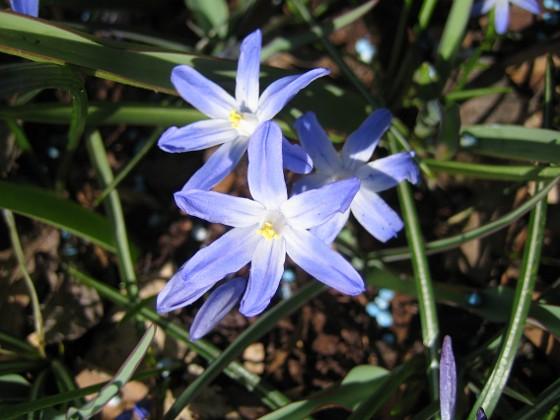 Vårstjärna  2011-04-17 014 Granudden Färjestaden Öland