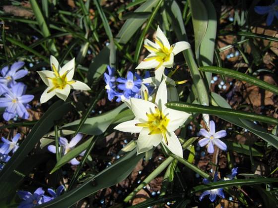 Vildtulpan och Vårstjärna  2011-04-17 021 Granudden Färjestaden Öland