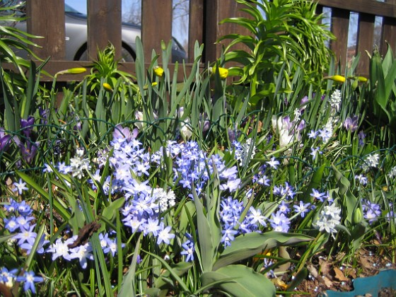 Vårstjärna &nbsp 2011-04-17 024 Granudden Färjestaden Öland