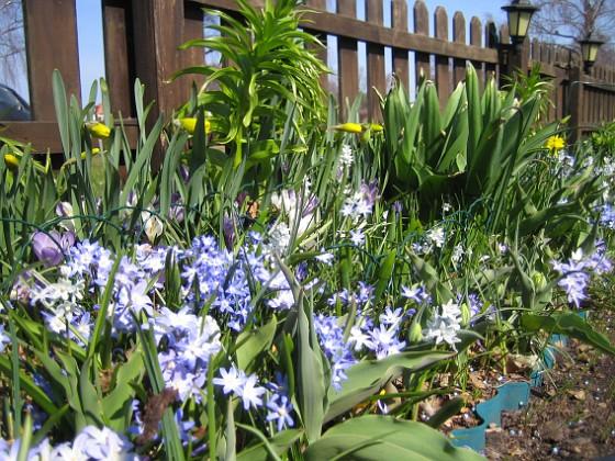Vårstjärna  2011-04-17 026 Granudden Färjestaden Öland