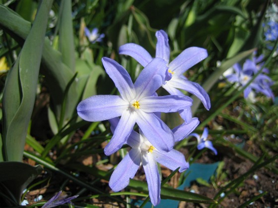 Vårstjärna &nbsp 2011-04-17 035 Granudden Färjestaden Öland