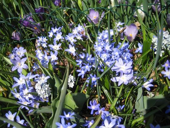 Vårstjärna  2011-04-17 037 Granudden Färjestaden Öland