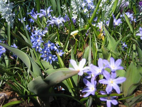 Vårstjärna, Porslinshyacint  2011-04-17 046 Granudden Färjestaden Öland