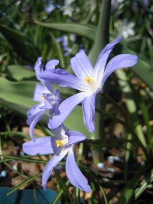 Vårstjärna &nbsp 2011-04-17 049 Granudden Färjestaden Öland