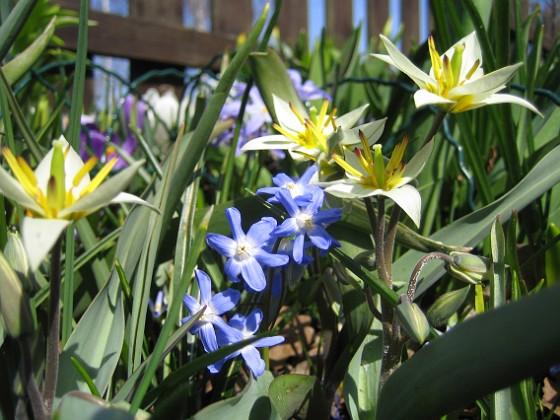 Vildtulpan, Vårstjärna  2011-04-17 057 Granudden Färjestaden Öland