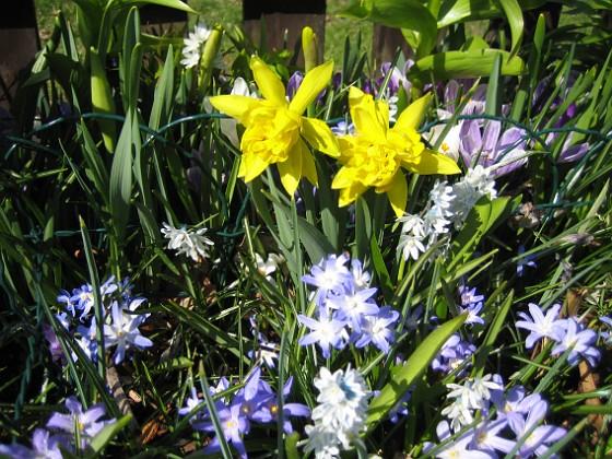 Påskliljor, Vårstjärna  2011-04-17 117 Granudden Färjestaden Öland