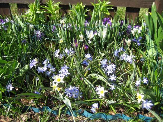 Vildtulpan, Vårstjärna  2011-04-17 125 Granudden Färjestaden Öland