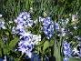 Vårstjärna  2011-04-17 025