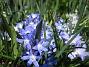 Vårstjärna  2011-04-17 031