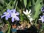 Vårstjärna  2011-04-17 036