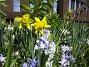 Påsklilja, Vårstjärna, Porslinshyacint  2011-04-17 039