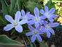 Vårstjärna  2011-04-17 043