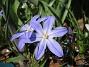 Vårstjärna  2011-04-17 048