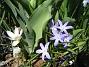 Vårstjärna, Krokus  2011-04-17 053