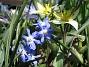 Vildtulpan, Vårstjärna  2011-04-17 058