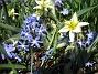 Vildtulpan, Vårstjärna  2011-04-17 059