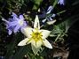 Vildtulpan, Vårstjärna  2011-04-17 061