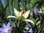 Vildtulpan, Vårstjärna  2011-04-17 062