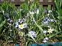 Vildtulpan, Vårstjärna  2011-04-17 065