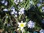 Vildtulpan, Vårstjärna  2011-04-17 066