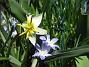 Vildtulpan, Vårstjärna  2011-04-17 070