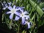 Vårstjärna  2011-04-17 071