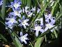 Vårstjärna  2011-04-17 073