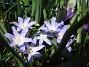 Vårstjärna  2011-04-17 076