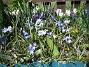 Vårstjärna, Porslinshyacint  2011-04-17 077