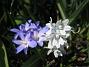 Vårstjärna, Porslinshyacint  2011-04-17 080