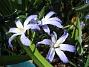 Vårstjärna  2011-04-17 081