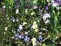 Vildtulpan, Vårstjärna  2011-04-17 124