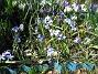 Vildtulpan, Vårstjärna  2011-04-17 126