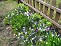 Vildtulpan, Vårstjärna  2011-04-17 128