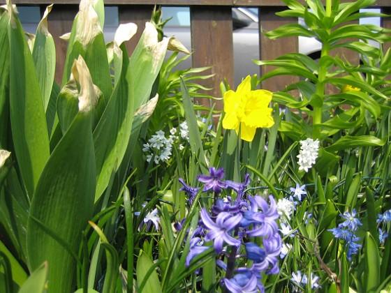 Hyacint och Narcisser {  }