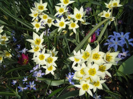 Vildtulpan, Vårstjärna  2011-04-21 031 Granudden Färjestaden Öland
