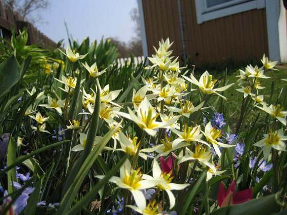 Vildtulpaner, Vårstjärna  2011-04-21 056 Granudden Färjestaden Öland