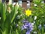 Hyacint och Narcisser  2011-04-21 027