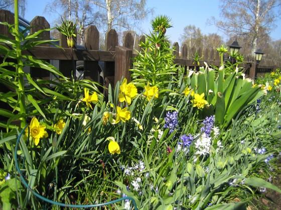 Påskliljor och Hyacinter {  }