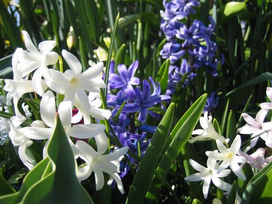 Hyacinter  2011-04-24 009 Granudden Färjestaden Öland