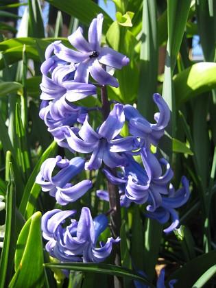 Hyacint &nbsp 2011-04-24 012 Granudden Färjestaden Öland