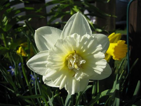 Narciss &nbsp 2011-04-24 019 Granudden Färjestaden Öland