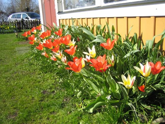 Tulpaner  2011-04-24 054 Granudden Färjestaden Öland