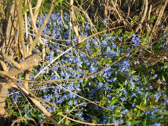 Scilla  2011-04-24 093 Granudden Färjestaden Öland