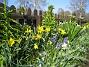 Påskliljor och Hyacinter  2011-04-24 004